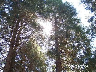 CedartreesRSjpg